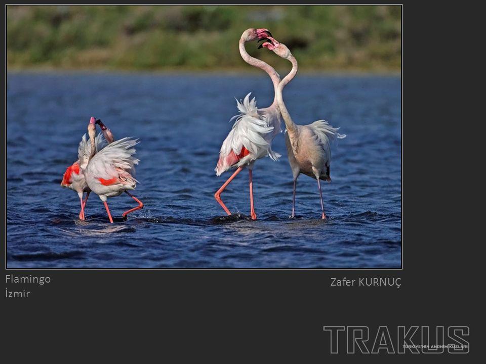 Flamingo İzmir Zafer KURNUÇ