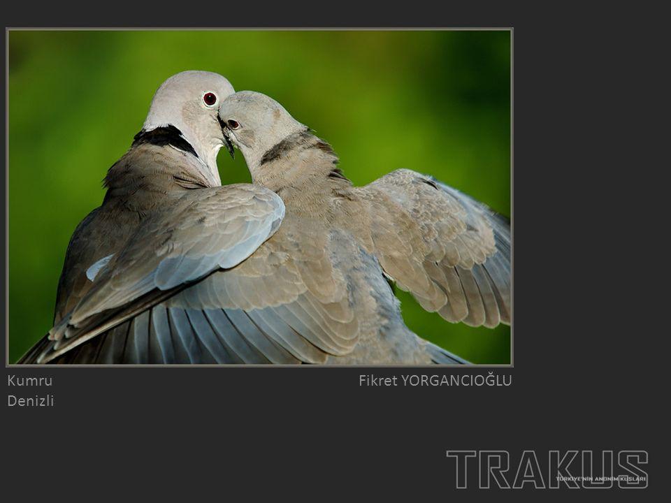 Çıtkuşu Çanakkale Ceki ERGİNBAŞ