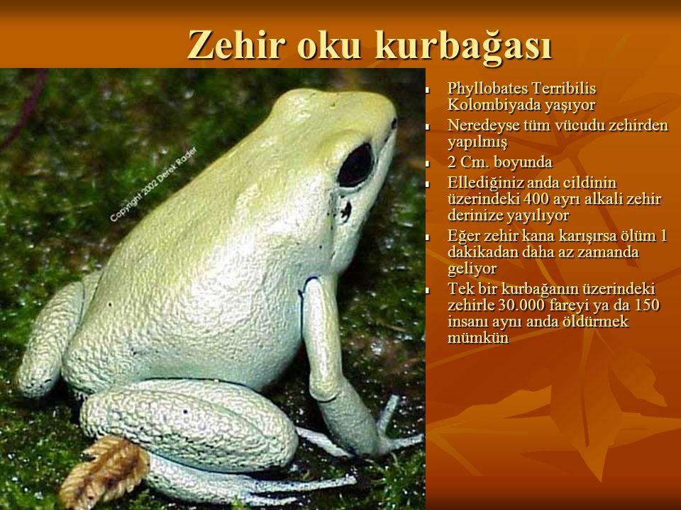 Zehir oku kurbağası Zehir oku kurbağası Phyllobates Terribilis Kolombiyada yaşıyor Phyllobates Terribilis Kolombiyada yaşıyor Neredeyse tüm vücudu zeh