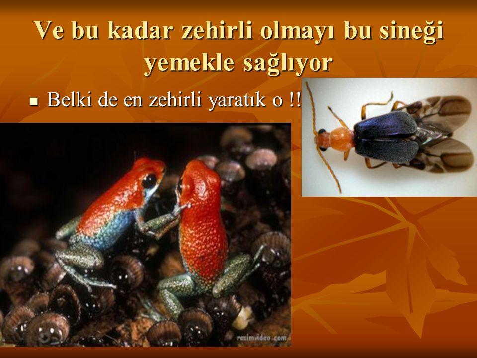 Ve bu kadar zehirli olmayı bu sineği yemekle sağlıyor Belki de en zehirli yaratık o !!! Belki de en zehirli yaratık o !!!