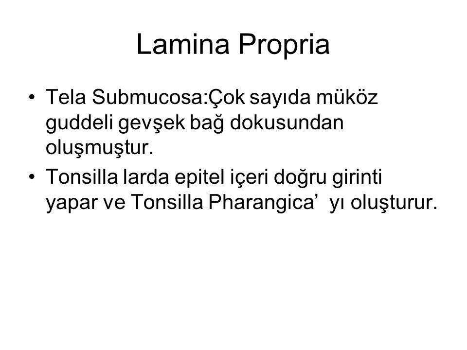 Lamina Propria Tela Submucosa:Çok sayıda müköz guddeli gevşek bağ dokusundan oluşmuştur.