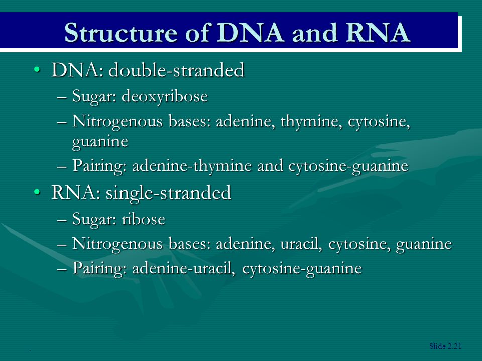 DNA: double-strandedDNA: double-stranded –Sugar: deoxyribose –Nitrogenous bases: adenine, thymine, cytosine, guanine –Pairing: adenine-thymine and cytosine-guanine RNA: single-strandedRNA: single-stranded –Sugar: ribose –Nitrogenous bases: adenine, uracil, cytosine, guanine –Pairing: adenine-uracil, cytosine-guanine Slide 2.21.