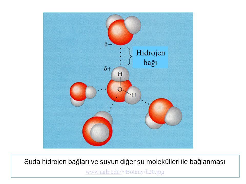Suda hidrojen bağları ve suyun diğer su molekülleri ile bağlanması www.ualr.edu/ www.ualr.edu/ ~ Botany/h20.jpg Hidrojen bağı