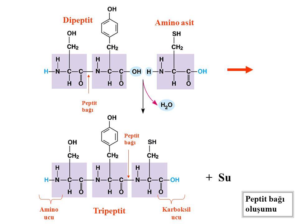 + Su Dipeptit Amino asit Tripeptit Peptit bağı Amino ucu Karboksil ucu Peptit bağı oluşumu