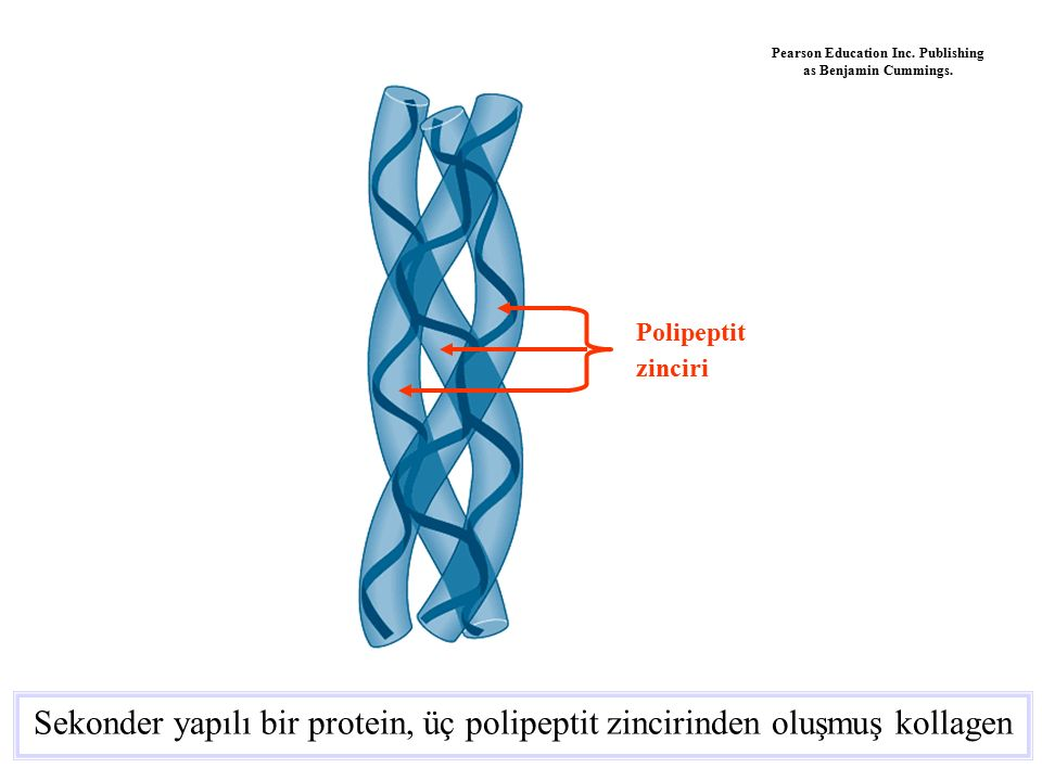 Sekonder yapılı bir protein, üç polipeptit zincirinden oluşmuş kollagen Polipeptit zinciri Pearson Education Inc. Publishing as Benjamin Cummings.