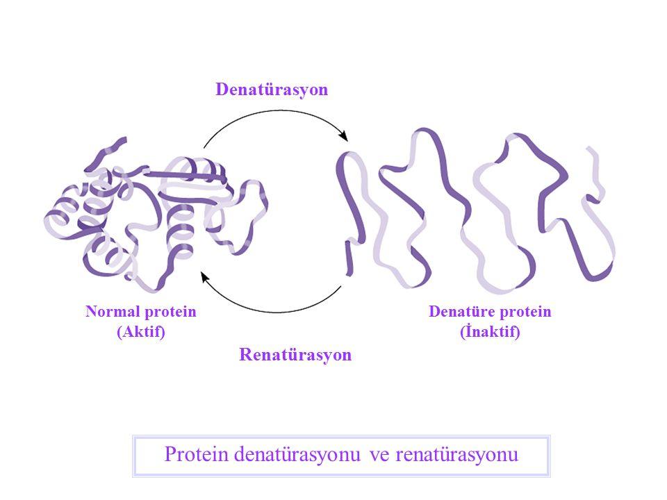 Protein denatürasyonu ve renatürasyonu Denatürasyon Renatürasyon Normal protein (Aktif) Denatüre protein (İnaktif)