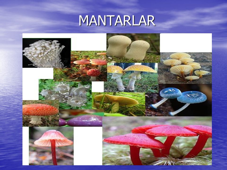 MANTARLARIN ÖZELLİKLERİ Ökaryot, çok hücreli canlılardır.