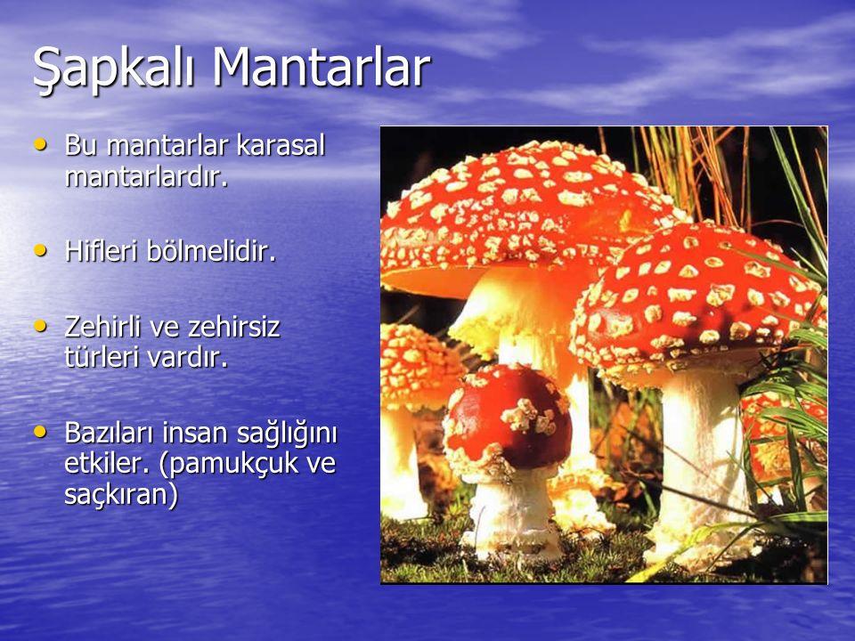 Maya Mantarları Sıvı veya nemli ortamlarda yaşayan tek hücreli mantarlardır.