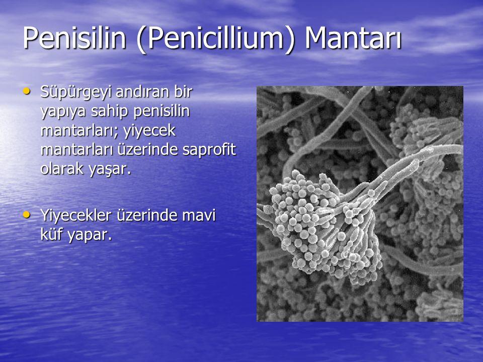 Penisilin (Penicillium) Mantarı Süpürgeyi andıran bir yapıya sahip penisilin mantarları; yiyecek mantarları üzerinde saprofit olarak yaşar. Süpürgeyi