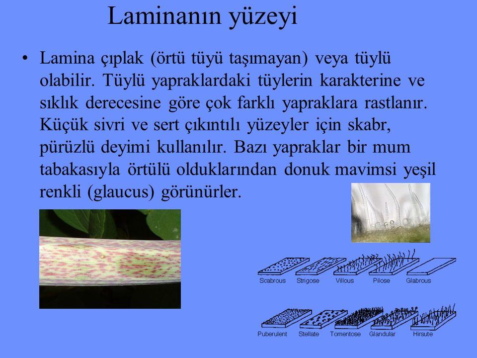 Laminanın yüzeyi Lamina çıplak (örtü tüyü taşımayan) veya tüylü olabilir. Tüylü yapraklardaki tüylerin karakterine ve sıklık derecesine göre çok farkl