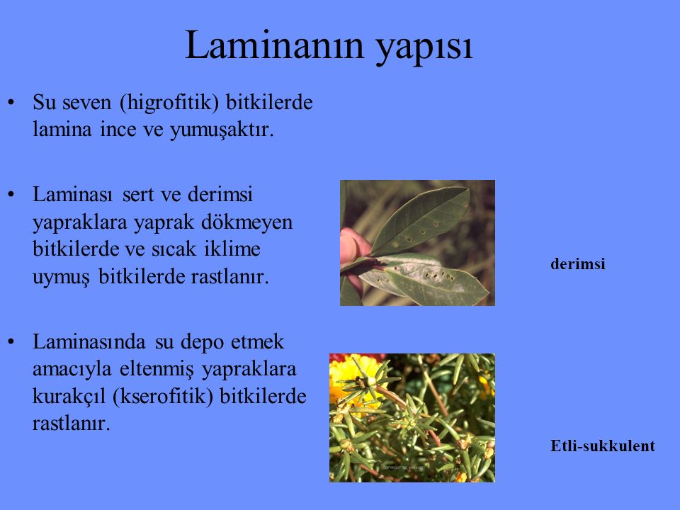 Laminanın yapısı Su seven (higrofitik) bitkilerde lamina ince ve yumuşaktır. Laminası sert ve derimsi yapraklara yaprak dökmeyen bitkilerde ve sıcak i