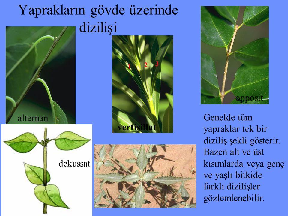 Yaprakların gövde üzerinde dizilişi alternan opposit vertisillat dekussat Genelde tüm yapraklar tek bir diziliş şekli gösterir. Bazen alt ve üst kısım