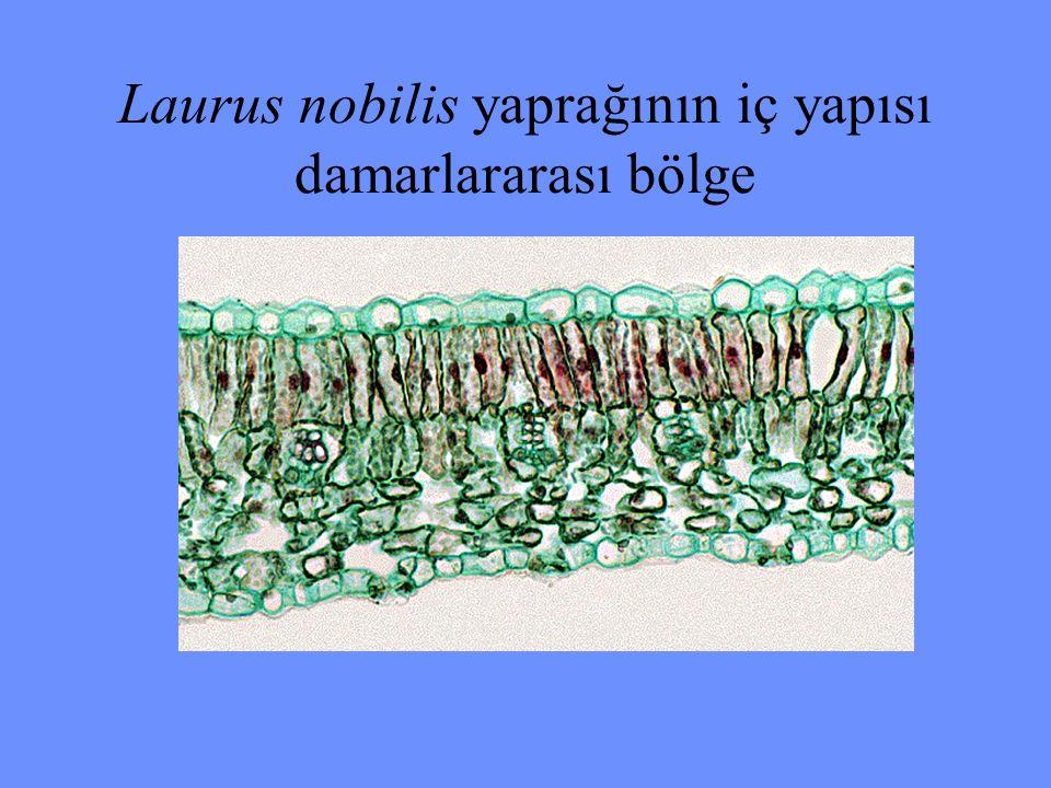 Laurus nobilis yaprağının iç yapısı damarlararası bölge