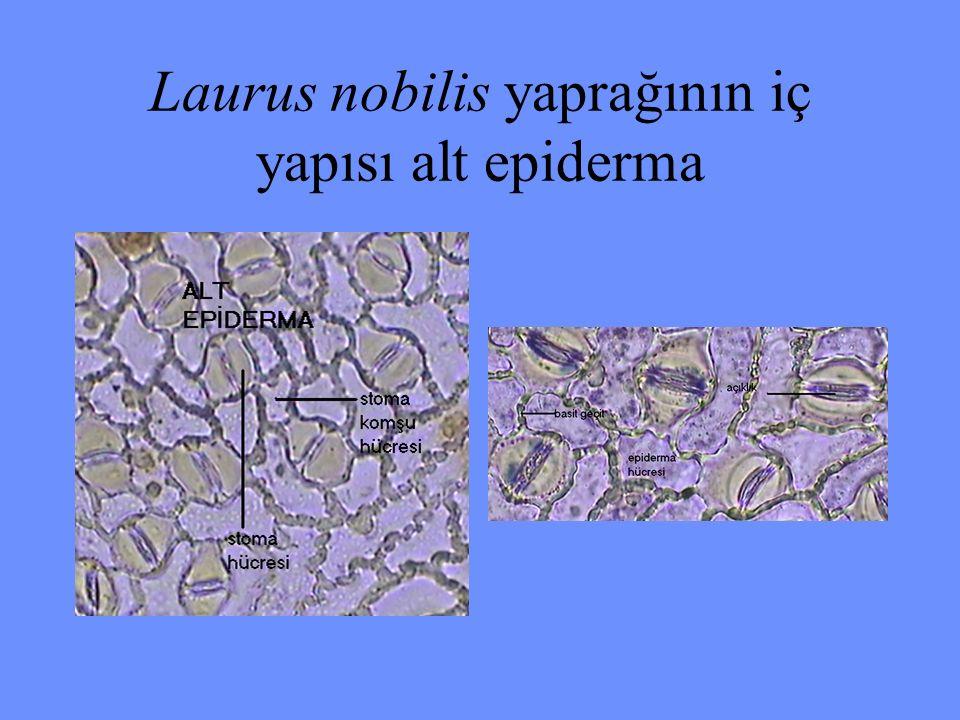 Laurus nobilis yaprağının iç yapısı alt epiderma