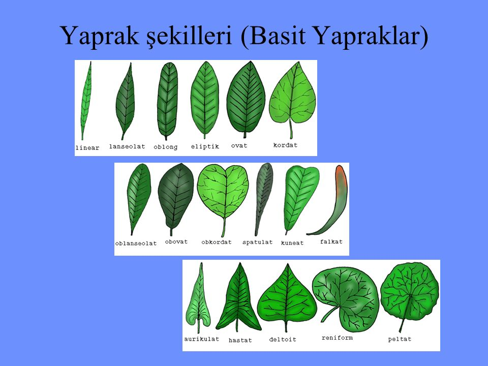 Yaprak şekilleri (Basit Yapraklar)