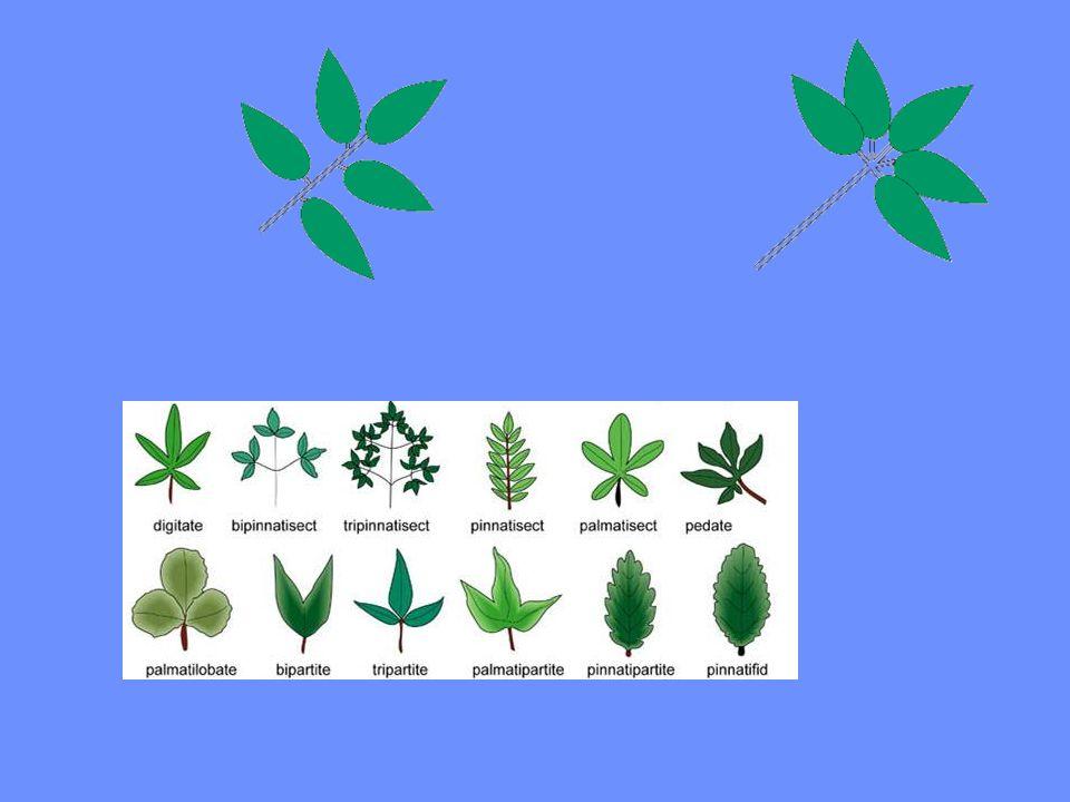 Yaprakların gövde üzerinde dizilişi alternan opposit vertisillat dekussat Genelde tüm yapraklar tek bir diziliş şekli gösterir.