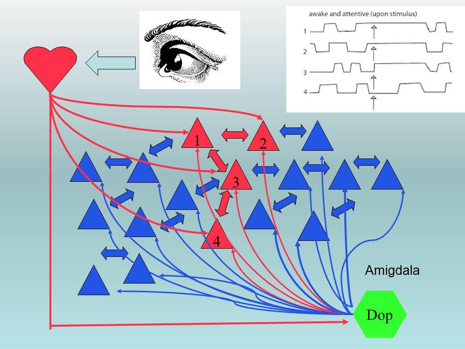1 4 3 2 Dop Amigdala