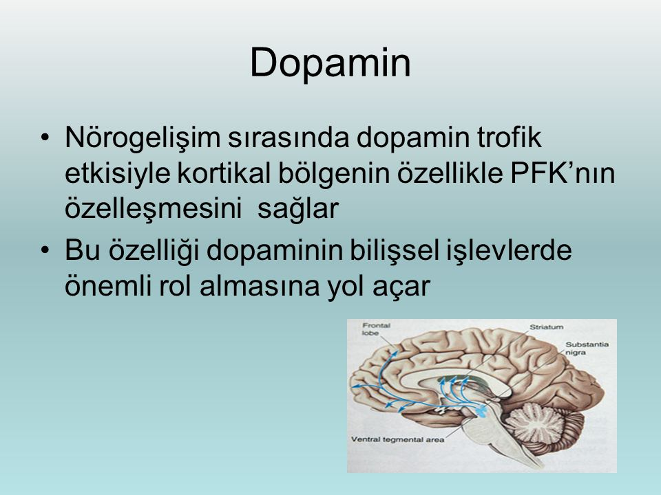 Dopamin Nörogelişim sırasında dopamin trofik etkisiyle kortikal bölgenin özellikle PFK'nın özelleşmesini sağlar Bu özelliği dopaminin bilişsel işlevle