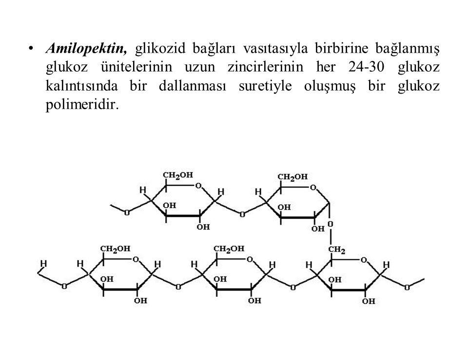 Amilopektin, glikozid bağları vasıtasıyla birbirine bağlanmış glukoz ünitelerinin uzun zincirlerinin her 24-30 glukoz kalıntısında bir dallanması sure