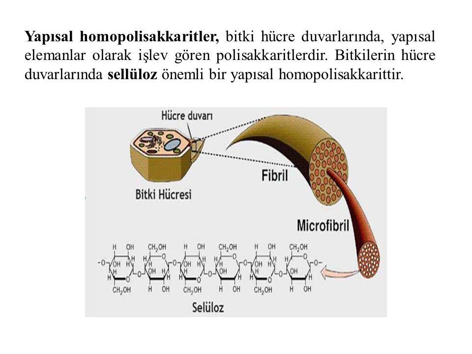Yapısal homopolisakkaritler, bitki hücre duvarlarında, yapısal elemanlar olarak işlev gören polisakkaritlerdir. Bitkilerin hücre duvarlarında sellüloz