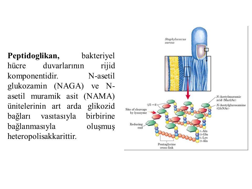 Peptidoglikan, bakteriyel hücre duvarlarının rijid komponentidir. N-asetil glukozamin (NAGA) ve N- asetil muramik asit (NAMA) ünitelerinin art arda gl