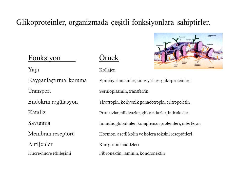 Glikoproteinler, organizmada çeşitli fonksiyonlara sahiptirler. FonksiyonÖrnek Yapı Kollajen Kayganlaştırma, koruma Epiteliyal musinler, sinovyal sıvı