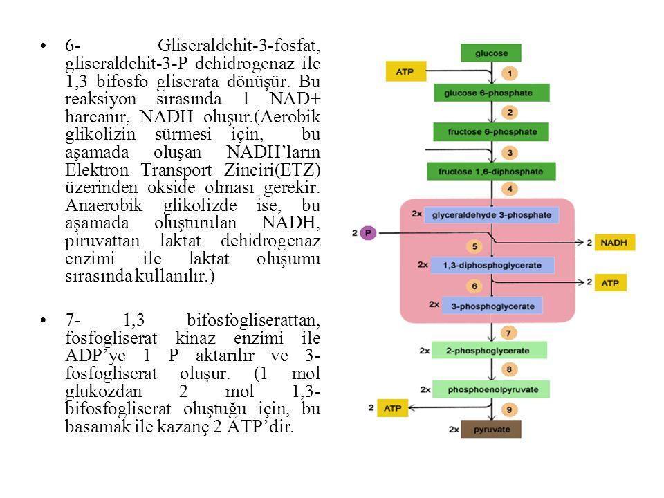 6- Gliseraldehit-3-fosfat, gliseraldehit-3-P dehidrogenaz ile 1,3 bifosfo gliserata dönüşür. Bu reaksiyon sırasında 1 NAD+ harcanır, NADH oluşur.(Aero