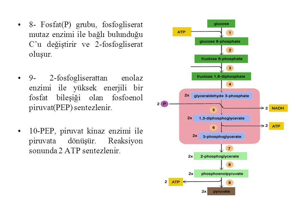 8- Fosfat(P) grubu, fosfogliserat mutaz enzimi ile bağlı bulunduğu C'u değiştirir ve 2-fosfogliserat oluşur. 9- 2-fosfogliserattan enolaz enzimi ile y