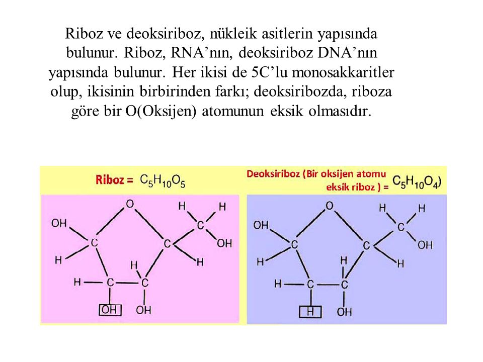 Riboz ve deoksiriboz, nükleik asitlerin yapısında bulunur. Riboz, RNA'nın, deoksiriboz DNA'nın yapısında bulunur. Her ikisi de 5C'lu monosakkaritler o