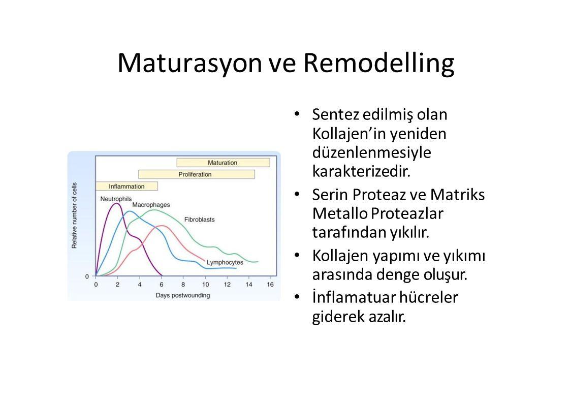 Maturasyon ve Remodelling Sentez edilmiş olan Kollajen'in yeniden düzenlenmesiyle karakterizedir. Serin Proteaz ve Matriks Metallo Proteazlar tarafınd