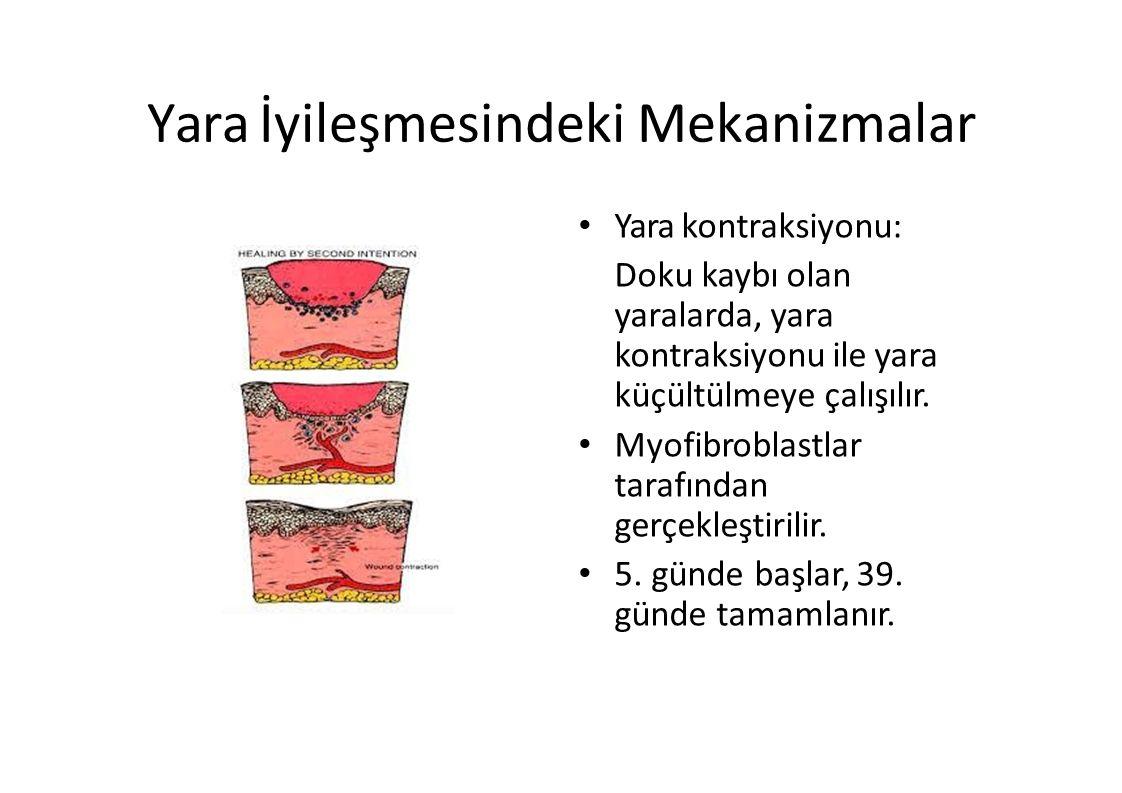 Yara İyileşmesindeki Mekanizmalar Yara kontraksiyonu: Doku kaybı olan yaralarda, yara kontraksiyonu ile yara küçültülmeye çalışılır. Myofibroblastlar