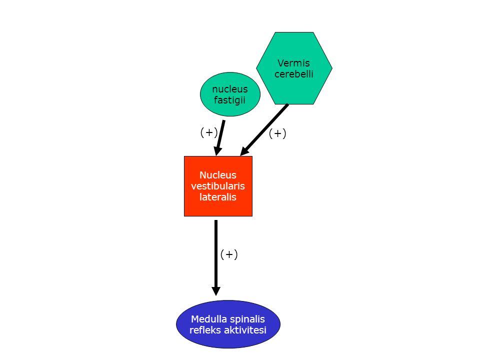 Nucleus vestibularis lateralis nucleus fastigii Vermis cerebelli Medulla spinalis refleks aktivitesi (+)