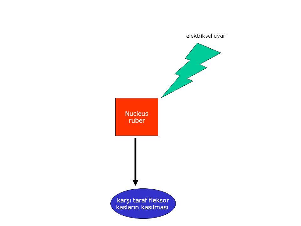 Nucleus ruber karşı taraf fleksor kasların kasılması elektriksel uyarı