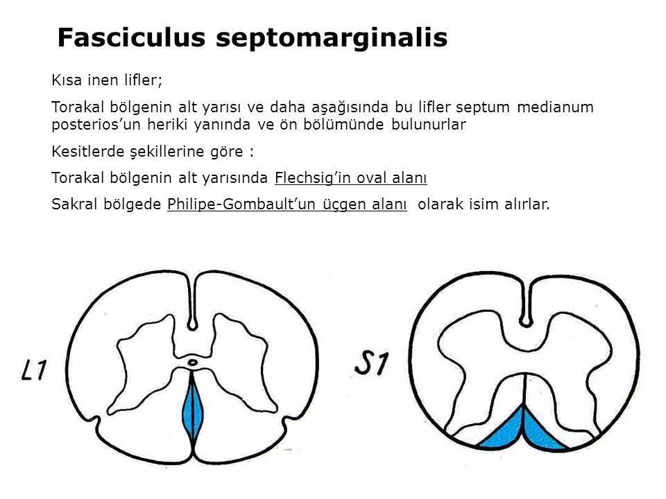 Fasciculus septomarginalis Kısa inen lifler; Torakal bölgenin alt yarısı ve daha aşağısında bu lifler septum medianum posterios'un heriki yanında ve ö