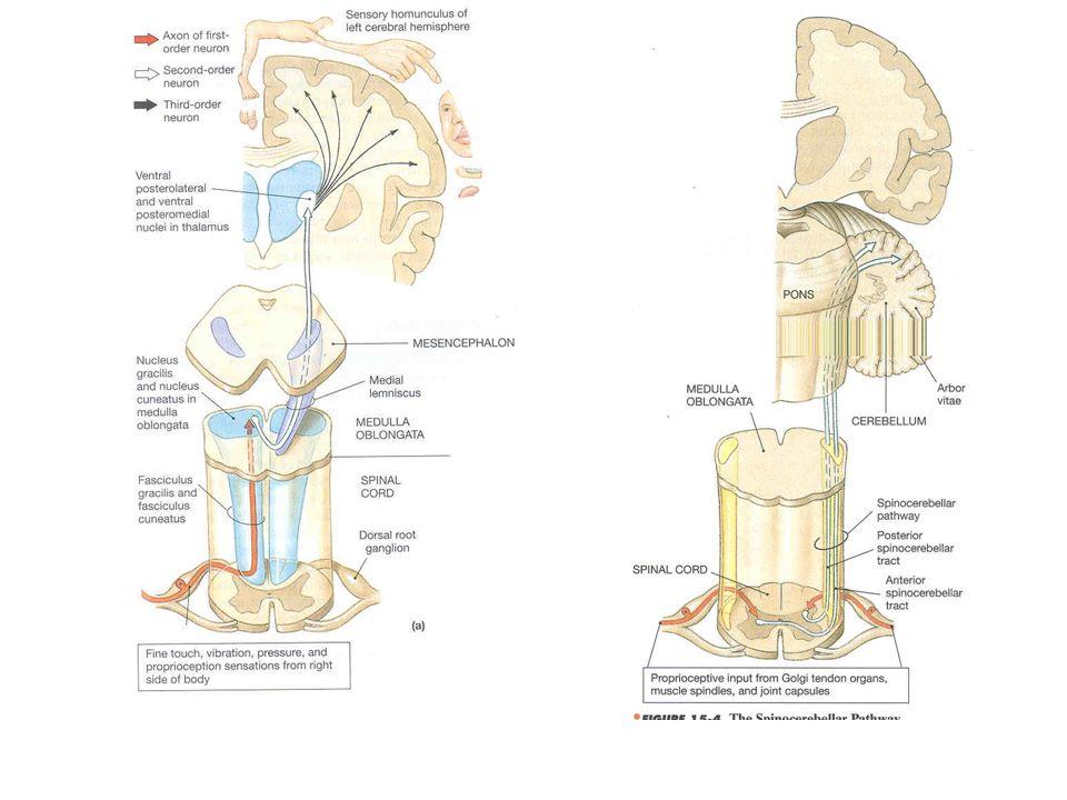 Tr spinobulbaris, bulbotlamicus, thalamocorticalisTr spinocerebellaris anterior et posterior