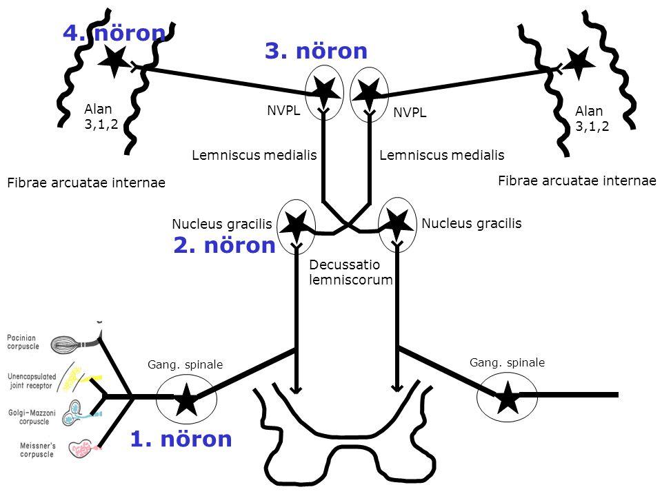 Gang. spinale NVPL Alan 3,1,2 Alan 3,1,2 1. nöron 2. nöron 3. nöron 4. nöron Nucleus gracilis Lemniscus medialis Fibrae arcuatae internae Decussatio l