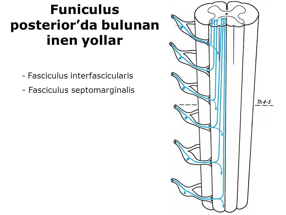 - Fasciculus interfascicularis - Fasciculus septomarginalis Funiculus posterior'da bulunan inen yollar