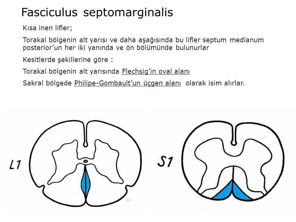 Fasciculus septomarginalis Kısa inen lifler; Torakal bölgenin alt yarısı ve daha aşağısında bu lifler septum medianum posterior'un her iki yanında ve