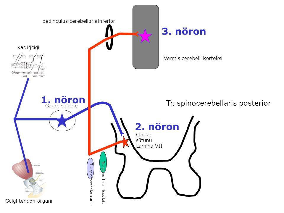 Gang. spinale Tr. spinocerebellaris posterior Golgi tendon organı Kas iğciği Clarke sütunu Lamina VII Tr. spinothalamicus lat. Tr. spinocerebellaris a