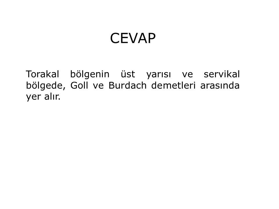 CEVAP Torakal bölgenin üst yarısı ve servikal bölgede, Goll ve Burdach demetleri arasında yer alır.