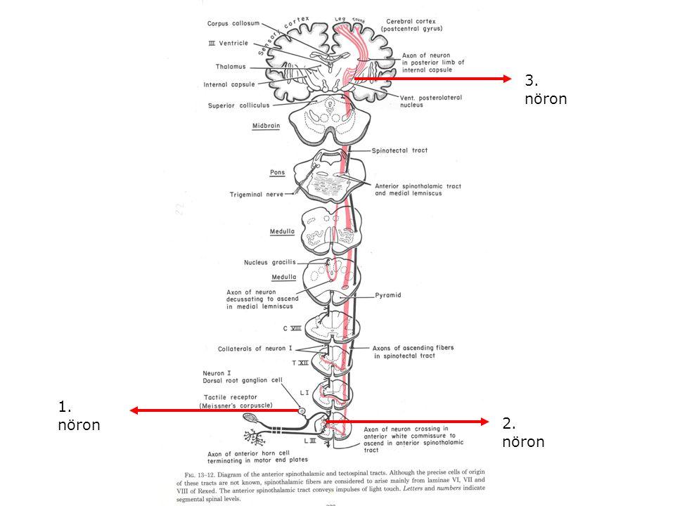1. nöron 2. nöron 3. nöron