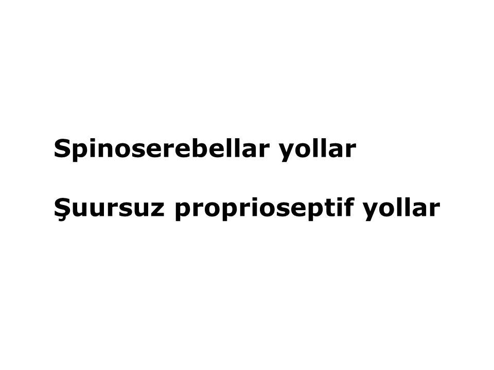 Spinoserebellar yollar Şuursuz proprioseptif yollar