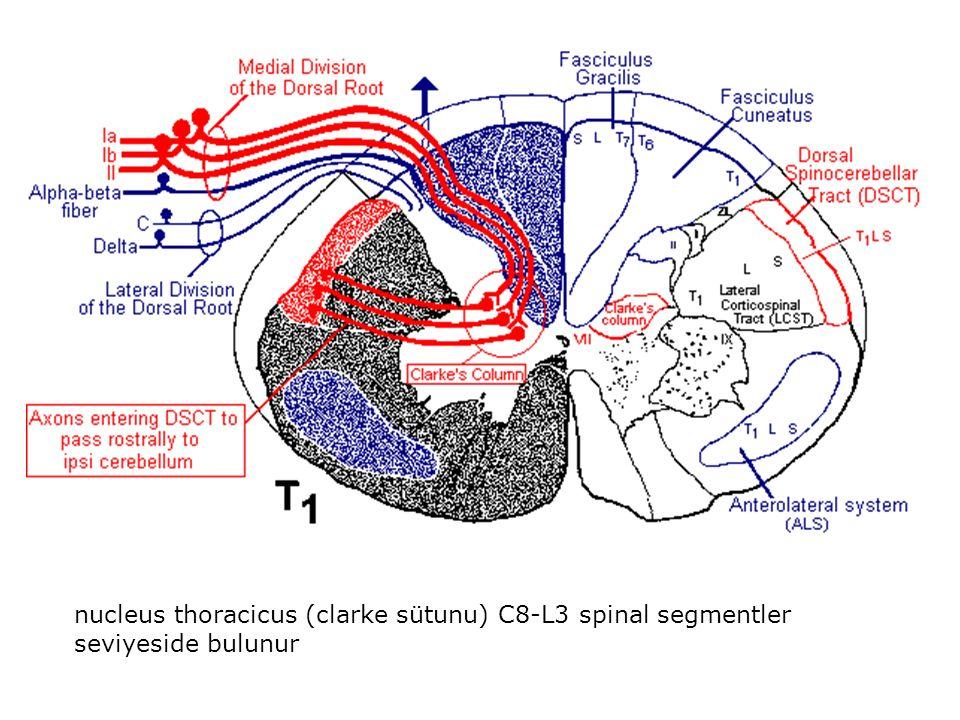 nucleus thoracicus (clarke sütunu) C8-L3 spinal segmentler seviyeside bulunur