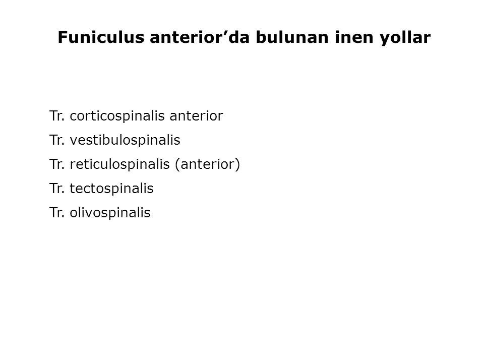 Tr. corticospinalis anterior Tr. vestibulospinalis Tr. reticulospinalis (anterior) Tr. tectospinalis Tr. olivospinalis Funiculus anterior'da bulunan i