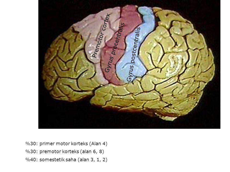 Gyrus postcentralis Gyrus precentralis Premotor cortex %30: primer motor korteks (Alan 4) %30: premotor korteks (alan 6, 8) %40: somestetik saha (alan