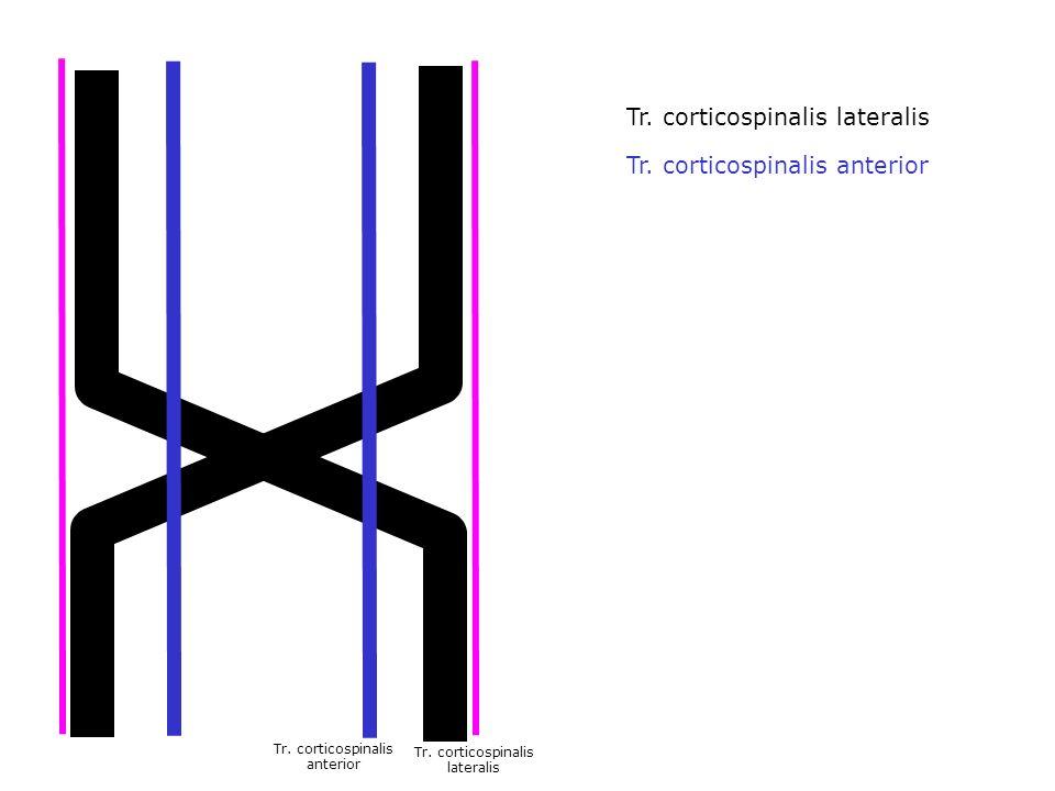 lateralis Tr. corticospinalis anterior Tr. corticospinalis lateralis Tr. corticospinalis anterior