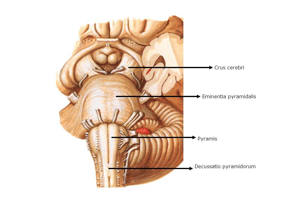 Eminentia pyramidalis Pyramis Crus cerebri Decussatio pyramidorum