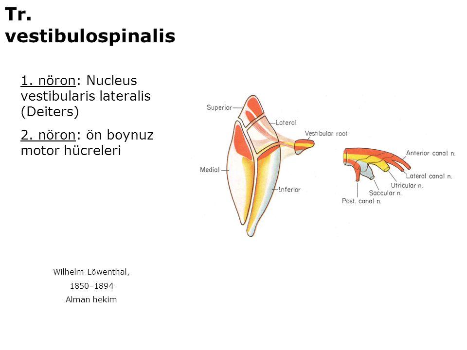 1. nöron: Nucleus vestibularis lateralis (Deiters) 2. nöron: ön boynuz motor hücreleri Tr. vestibulospinalis Wilhelm Löwenthal, 1850–1894 Alman hekim