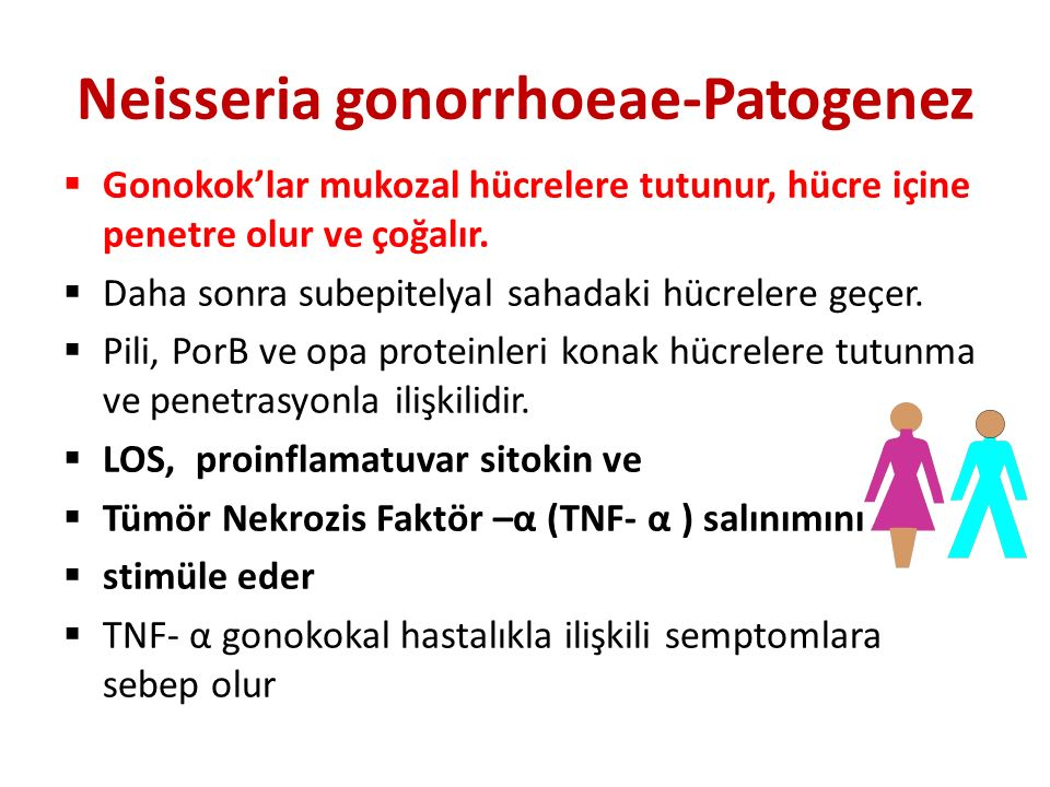 Neisseria gonorrhoeae-Patogenez  Gonokok'lar mukozal hücrelere tutunur, hücre içine penetre olur ve çoğalır.  Daha sonra subepitelyal sahadaki hücre