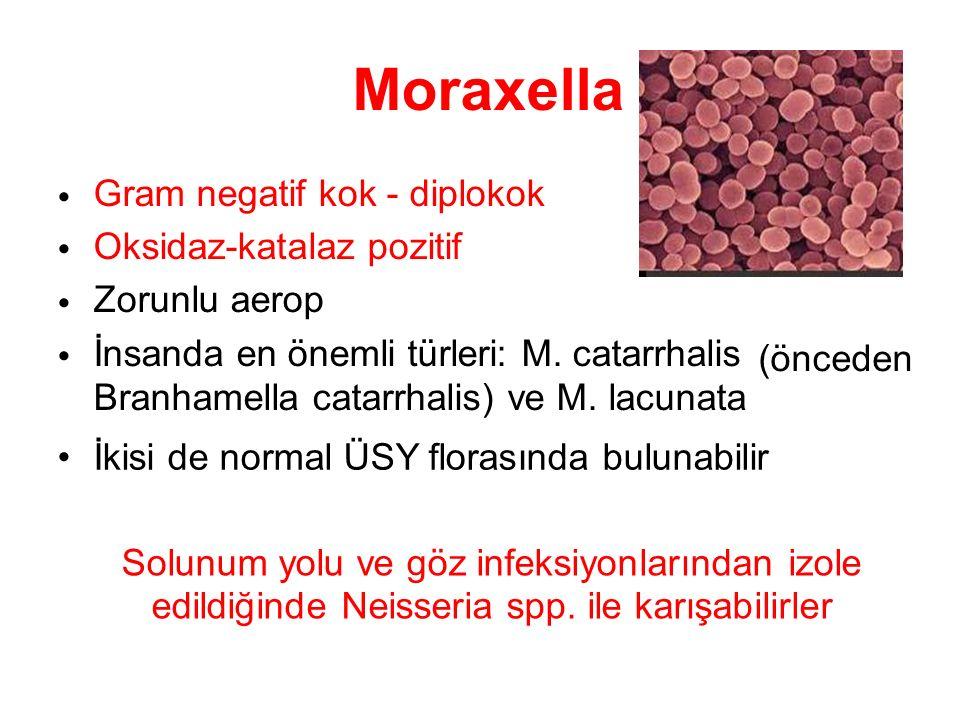 Moraxella Gram negatif kok - diplokok Oksidaz-katalaz pozitif Zorunlu aerop İnsanda en önemli türleri: M. catarrhalis Branhamella catarrhalis) ve M. l